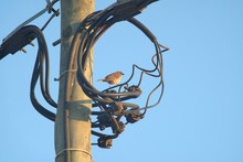 Sparrow On Electrical Cables
