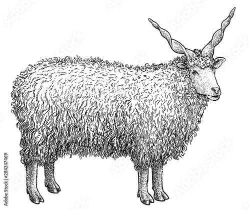 Fotografija Racka sheep illustration, drawing, engraving, ink, line art, vector