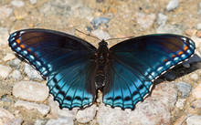 Red Spotted Purple Admiral Butterfly Licking Water Of River Rocks At Hot Sunny Day