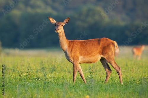 Fotografia, Obraz  Side view of tender red deer, cervus elaphus, hind standing on a hay field facing camera in summer at sunrise