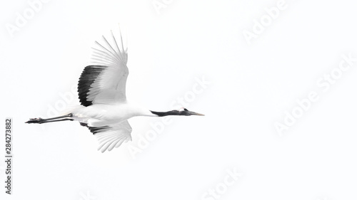 red crowned crane flying in the white sky - 284273882