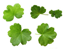 Set Of Geranium Green Leaves Isolated On White