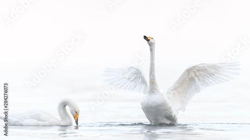 Spoed Fotobehang Zwaan two whooper swan lovers dancing in a white fog background portrait