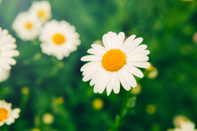 Beautiful Pretty Daisy Flower On Green Grass Meadow Background. White Petals Of Home Garden Plant Camomile With Fresh Water Rain Drops . Natural Floral Background With Sun Flare Light.