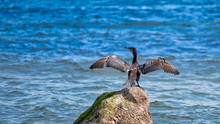Cormorant Drying Wings On A Rock In The Ocean