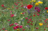 Fototapeta Kwiaty - Rodzynek wśród kwiatów