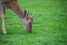 Velvet Covering As New Antlers...