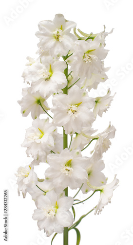 Fotografia Beautiful white delphinium flower isolated on white background