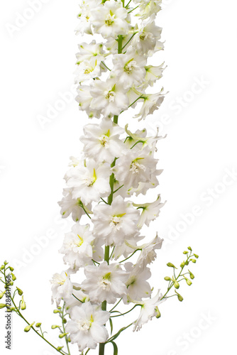 Beautiful white delphinium flower isolated on white background Fototapeta