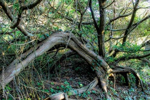 Selective Focus of gnarled windswept live oak trees on Ocracoke Island, North Ca Canvas-taulu