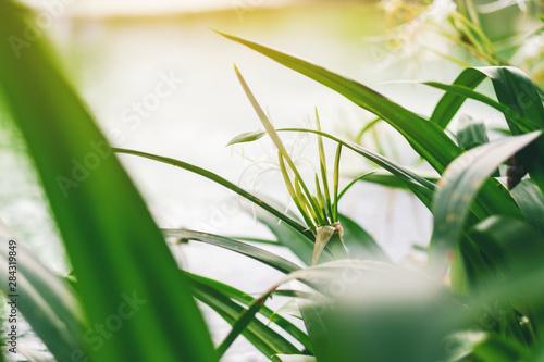 Deurstickers Waterlelies Closeup image of spider lily plants beside a pond