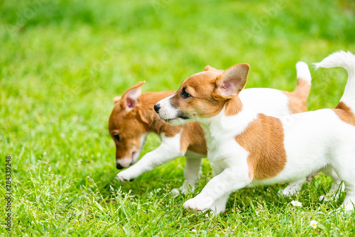Two Jack Russell terriers playing Wallpaper Mural