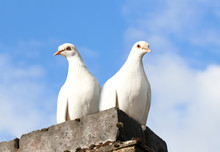 A Pair Of White Doves Perched ...