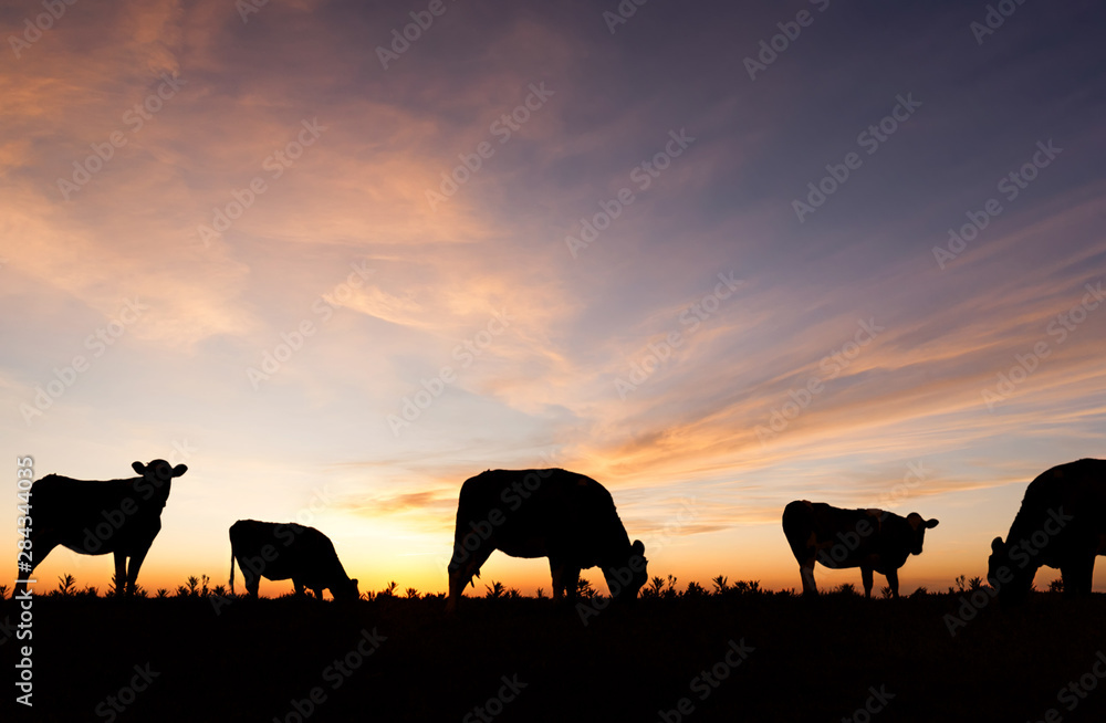 Fototapeta Silhouetted cattle grazing in a field at sunset.