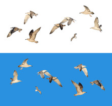 Set Of Different Flying Seagulls In Different Poses, Isolated On White And Blue Background