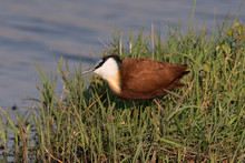 African Jacana, (Actophilornis Africanus) Searches For Food Along The Chobe River, Botswana, Africa.