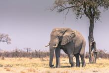 Botswana. Chobe National Park. Savuti. Elephant (Loxodonta Africana) Walking Towards A Water Hole.