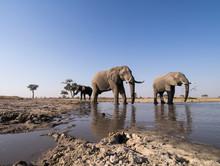 Africa, Botswana, Chobe National Park, African Elephant Herd (Loxodonta Africana) Drinking From Muddy Water Hole In Savuti Marsh