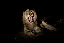 Male Lion Growling At Night