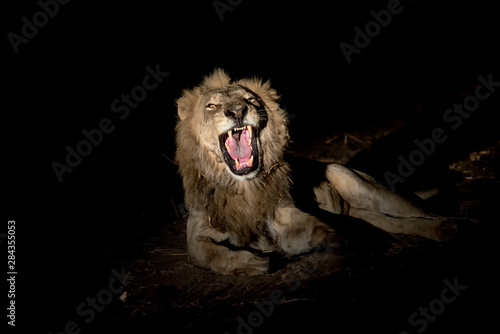 Male lion growling at night Wallpaper Mural