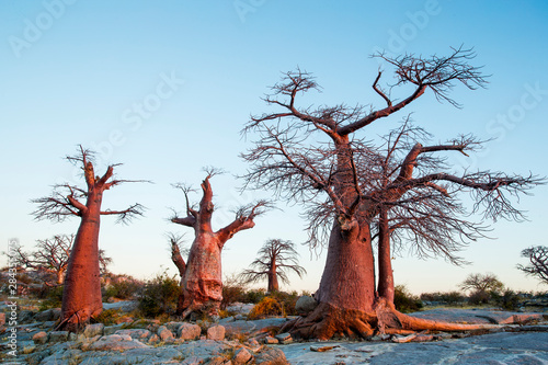 Africa, Botswana, Setting sun lights Baobab trees grow atop dry granite outcrop of Kubu Island in Makgadikgadi Pan within Kalahari Desert
