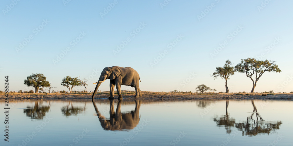 Fototapeta Africa, Botswana, Chobe National Park, African Elephant (Loxodonta Africana) stands at edge of water hole in Savuti Marsh