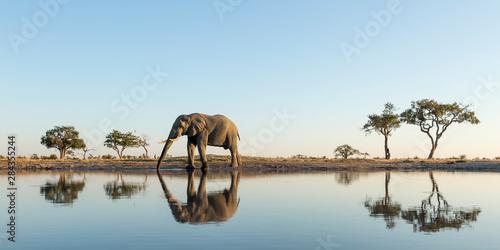 Valokuvatapetti Africa, Botswana, Chobe National Park, African Elephant (Loxodonta Africana) sta