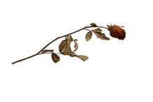 Dried Rose Isolated On White