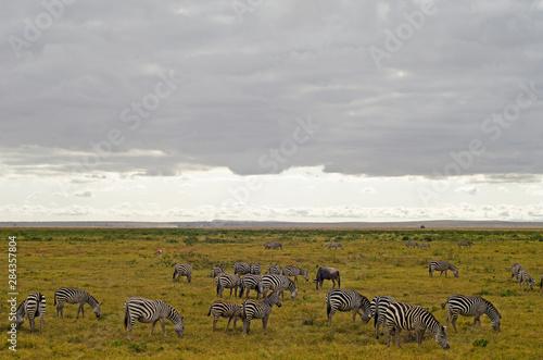 Montage in der Fensternische Afrika Kenya, Amboseli National Park, zebras grazing