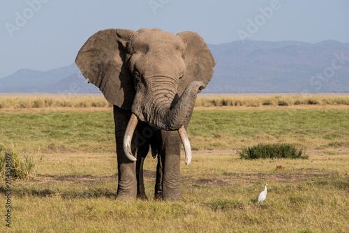 East Africa, Kenya, Amboseli National Park, elephant (Loxodanta africana) Wallpaper Mural