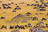 Fototapeta Sawanna - Crossing of the Mara River by Zebras and Wildebeest, migrating in the Maasai Mara Kenya.