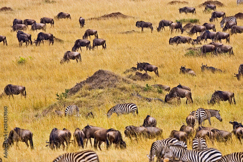 Cadres-photo bureau Zebra Crossing of the Mara River by Zebras and Wildebeest, migrating in the Maasai Mara Kenya.