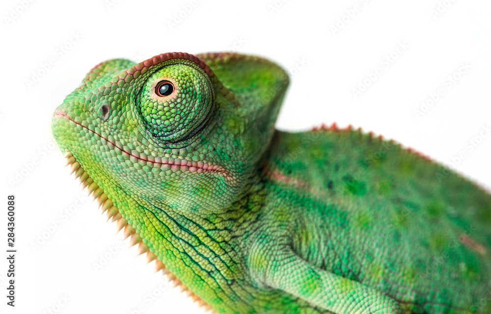 Fototapety, obrazy: chameleon - Chamaeleo calyptratus on a branch isolated on white