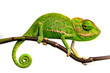 cute funny chameleon - Chamaeleo calyptratus on a branch
