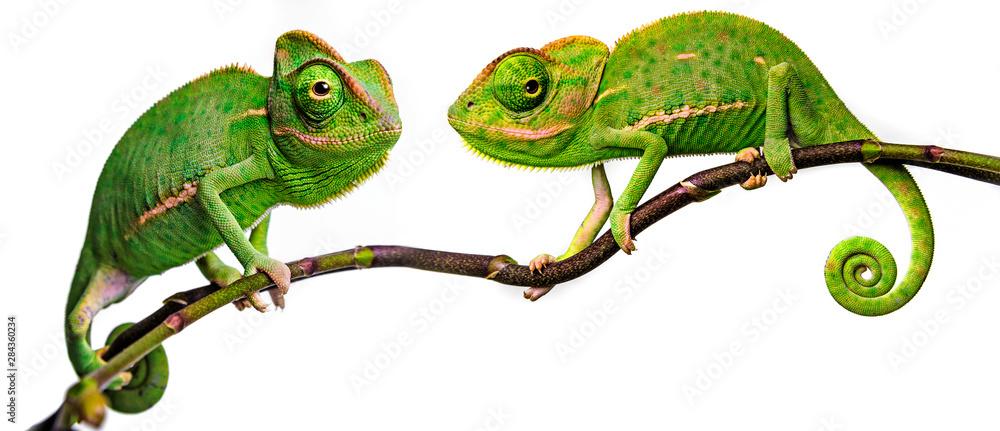 Fototapety, obrazy: green chameleon - Chamaeleo calyptratus