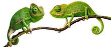Green Chameleon - Chamaeleo Ca...