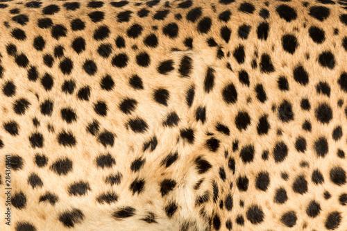 Stampa su Tela Africa, Namibia, Keetmanshoop. Close-up view of cheetah fur.