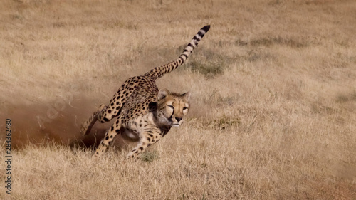 Photo Namibia. Cheetah running at the Cheetah Conservation Foundation.