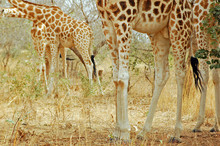 Niger, Koure, Giraffe And Bushes In The West African Savanna