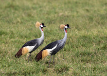 Africa, Tanzania, Ngorongoro Crater. Two Crowned Cranes (Balearica Regulorum) On The Floor Of The Ngorongoro Crater.