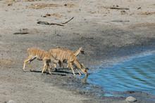 Africa, South Africa, KwaZulu Natal, Westville, Female Nyala In Tembe Elephant Park