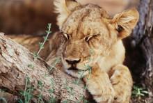 South Africa, Kalahari Gemsbok National Park, (Kgalagadi Transfrontier Park), Lion Cub (Panthera Leo) Resting Under Shade