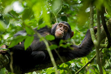 Africa, Uganda, Kibale National Park, Ngogo Chimpanzee Project. A Young Adolescent Male Chimpanzee Rests In A Tree.