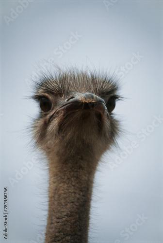 Autocollant pour porte Autruche Central South Africa, African Ostrich, Close-up