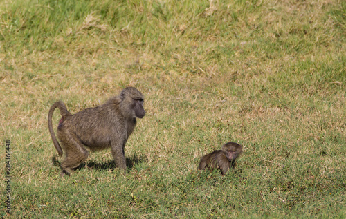 Mother yellow baboon (Papio cynocephalus) follows close behind her young off-spring as they walk through the grassy savanna, alert for any intruders, Arusha National Park, Tanzania