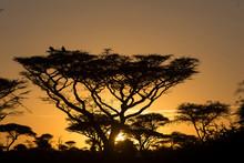 Silhouette Of Acacia Tree Stan...
