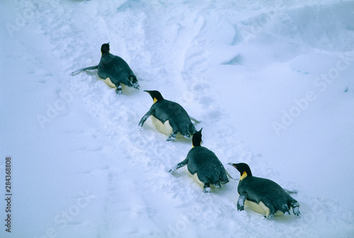 Emperor Penguins, (Aptenodytes forsteri), Tobogganing, Ross Sea, Antarctica Canvas Print