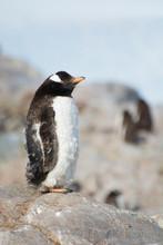 Antarctica. Neko Harbor. Gentoo Penguin Colony. Molting Gentoo Penguin (Pygoscelis Papua).