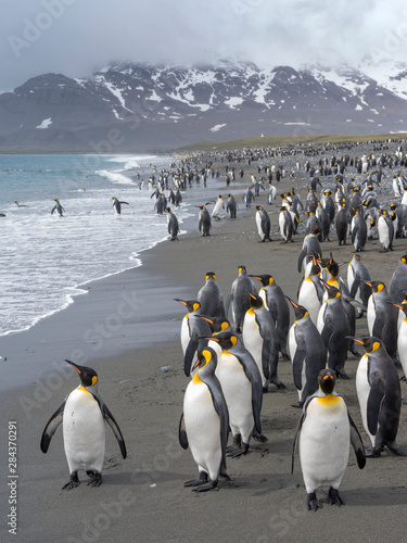 King Penguin (Aptenodytes patagonicus) on the island of South Georgia, the rookery on Salisbury Plain in the Bay of Isles Canvas Print