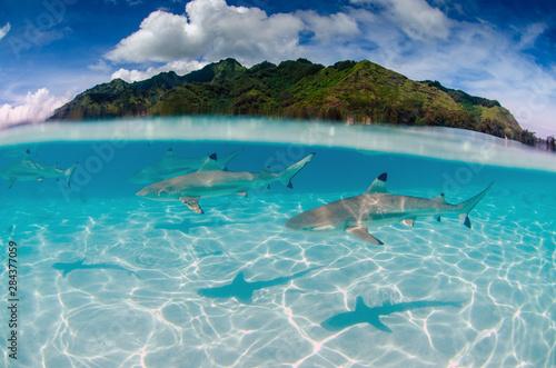 Black Tip Reef Sharks Swim Around Moorea in French Polynesia Fototapeta